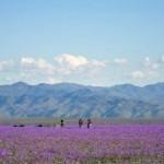 El Nino covers arid Atacama desert in flowers