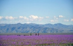 El Nino covers arid Atacama desert in flowers