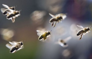 Fly parasite turns honey bees into 'zombies': study