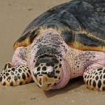 Philippines goes after sea turtle restaurants