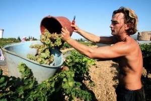 French wine harvest off to flying start