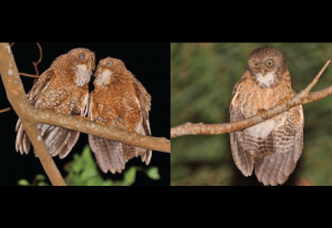 New owl species discovered in Cebu, Camiguin