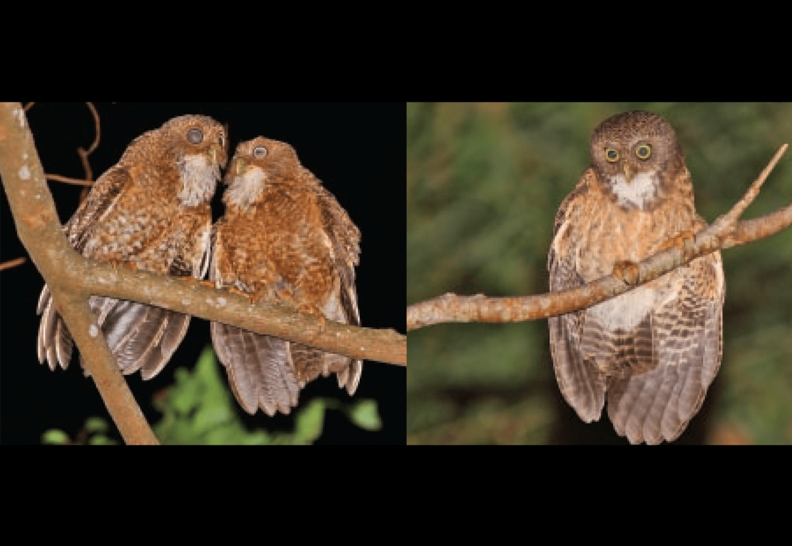 New owl species discovered in Cebu Camiguin The US  : owls from usasianpost.com size 2038 x 1404 png 1002kB