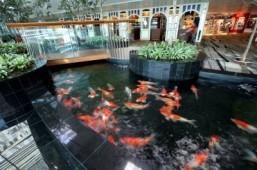 Koi Pond at Changi Airport ©Changi Airport Group