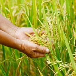 DNA rice breakthrough raises 'green revolution' hopes