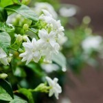 Magnolia-jasmine aroma could make you a hot ticket: study