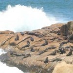 Algae toxin may erase sea lion memory: study