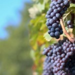 Grape compound shown to help fight acne: study